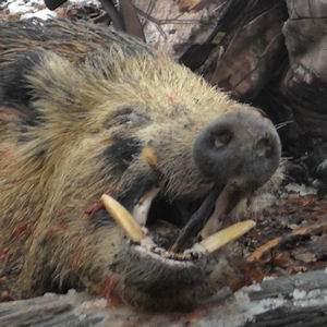 boar1412