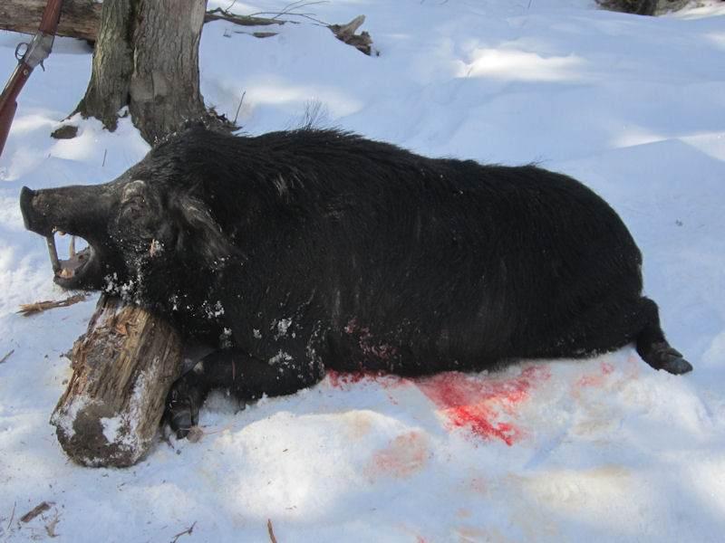 boar1841814