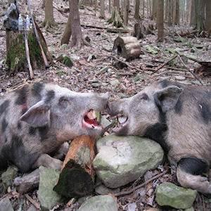 boar7516