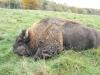 buffalo7bb