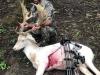 Fallow Deer Kill