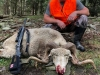 Rocky Mountain Ram kill