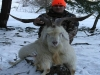 spanish-goats