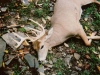 whitetail8bb