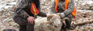 Rocky Mountain Ram Hunting